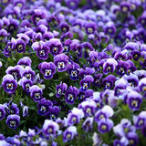 Flores violetas da viola Imagem de Stock Royalty Free