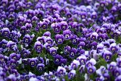 Flores violetas da viola Fotos de Stock Royalty Free