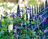 Flores violetas das clematites fotos de stock royalty free