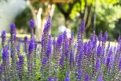 Flores violetas de florescência bonitas na cidade velha de Tallinn Estônia Fotografia de Stock