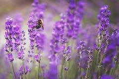 Flores violetas de la lavanda con la abeja en Japón Imagen de archivo libre de regalías