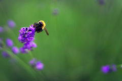 Flores violetas de la lavanda con la abeja en Japón Imagen de archivo