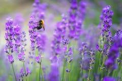 Flores violetas de la lavanda con la abeja en Japón Fotos de archivo