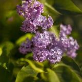 Flores violetas de la lila Fotos de archivo