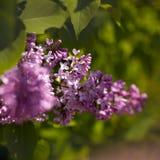 Flores violetas de la lila Foto de archivo