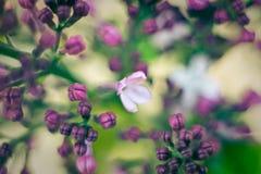 Flores violetas de la lila de la primavera, fondo floral suave abstracto Foto de archivo
