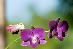 Flores violetas de la orquídea Fotografía de archivo libre de regalías