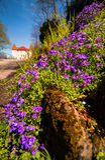 Flores violetas de la primavera del borde de la carretera Imagenes de archivo
