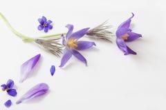 Flores violetas de la primavera en el fondo blanco Fotos de archivo libres de regalías