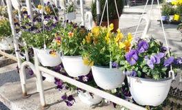 Flores violetas de la primavera en potes blancos colgantes Imagenes de archivo