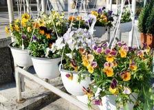 Flores violetas de la primavera en potes blancos colgantes Imagen de archivo libre de regalías