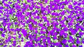 Flores violetas de los pensamientos en un jardín foto de archivo