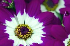 Flores violetas de Toscana, Italia Fotografía de archivo