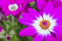 Flores violetas de Toscana, Italia Foto de archivo