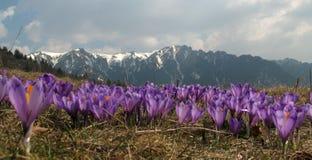 Flores violetas del azafrán Imagen de archivo libre de regalías