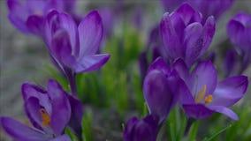 Flores violetas del azafrán almacen de metraje de vídeo