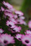 Flores violetas del calendula en el jardín fotos de archivo