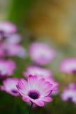 Flores violetas del calendula en el jardín foto de archivo