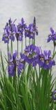 Flores violetas del diafragma en parque fotografía de archivo