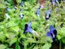 Flores violetas del jardín Foto de archivo