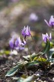 Flores violetas del punzón de acero japonés, en el parque de Showa Kinen, Tokio, Japón Foto de archivo