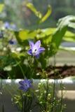 Flores violetas delicadas do bellflower no fundo natural borrado Balcão greening foto de stock