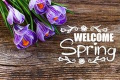 Flores violetas do açafrão Imagens de Stock Royalty Free