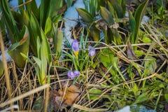 Flores violetas do açafrão Imagem de Stock