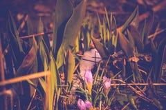 Flores violetas do açafrão Fotografia de Stock Royalty Free