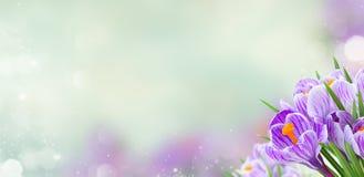 Flores violetas do açafrão Fotos de Stock Royalty Free