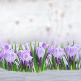 Flores violetas do açafrão Fotos de Stock