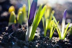 Flores violetas do açafrão com folhas verdes Açafrão azul macio das pétalas, foco macio, vista à terra Profundidade de campo rasa Fotos de Stock Royalty Free