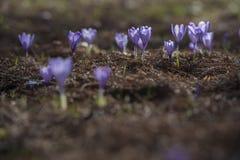 Flores violetas do açafrão da mola Foto de Stock