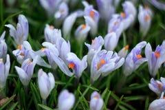 Flores violetas do açafrão em um prado da mola Imagens de Stock