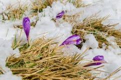 Flores violetas do açafrão no aparecimento da neve Foto de Stock Royalty Free