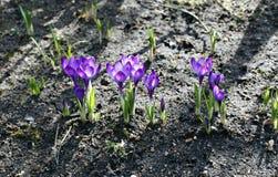 Flores violetas do açafrão no jardim Imagem de Stock Royalty Free