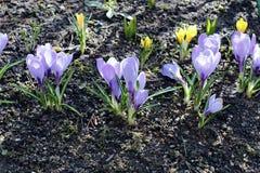 Flores violetas do açafrão no jardim Imagem de Stock