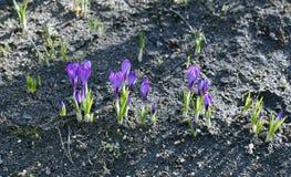 Flores violetas do açafrão no jardim Imagens de Stock