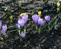 Flores violetas do açafrão no jardim Imagens de Stock Royalty Free