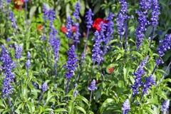 Flores violetas do jardim Fotos de Stock Royalty Free