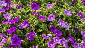 Flores violetas do petúnia Fotografia de Stock