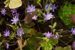 Flores violetas e roxas da anêmona imagens de stock