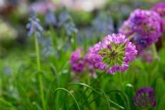 Flores violetas e roxas da prímula fotos de stock royalty free