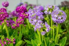Flores violetas e roxas da prímula fotografia de stock royalty free