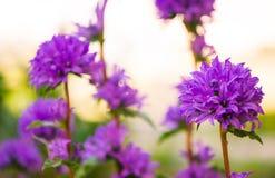 Flores violetas en el jardín del verano Imagen de archivo libre de regalías