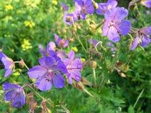 Flores violetas en el prado Imágenes de archivo libres de regalías