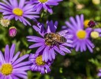 Flores violetas en la abeja de garden/a Foto de archivo libre de regalías