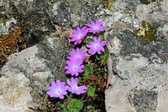 Flores violetas en la roca (tirolensis de la prímula) Fotos de archivo