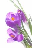 Flores violetas en resorte Fotografía de archivo libre de regalías