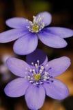 Flores violetas en Rochebiliere, Provence, Francia Foto de archivo